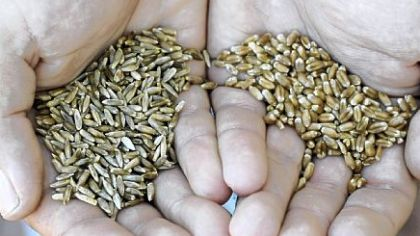 Nigel Tudor holds Aroostook Rye wheat (left) and Mixine, a hard Red Winter wheat) grown at his family's Weatherbury Farm in Independence Twp., Washington County.