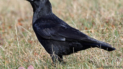 Pittsburgh bird counters reported 52 species last year, with American crows == at 2,392 == the most numerous.