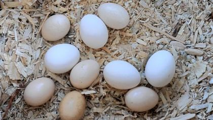 Eggs laid by Zoe, a Buff Orpinger chicken at Nancy Chubb's house in Spring Hill.
