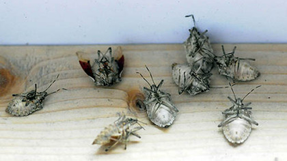Dead stink bugs at the attic of Dean Osterritter house in Spring Hill.