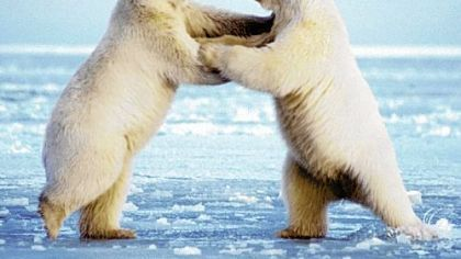 Polar bears frolic in Alaska&#039;s wilderness in this photo from the book &quot;The Quiet World.&quot;