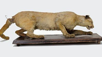 This 2006 photo shows the taxidermy of the eastern cougar said to have been the last cougar killed in Pennsylvania in 1874 by Thomas Anson.