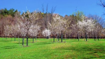 Cherry trees planted by the Sakura Project bloom last spring in front of an old stand of white pine trees in North Park.