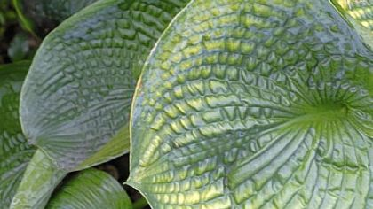 Hosta ''Drinking Gourd'' is one of hundreds in the McKennas' garden.
