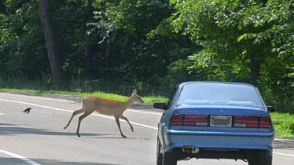 A deer runs in front of a car on Riverview Drive in the city's Riverview Park in Observatory Hill.
